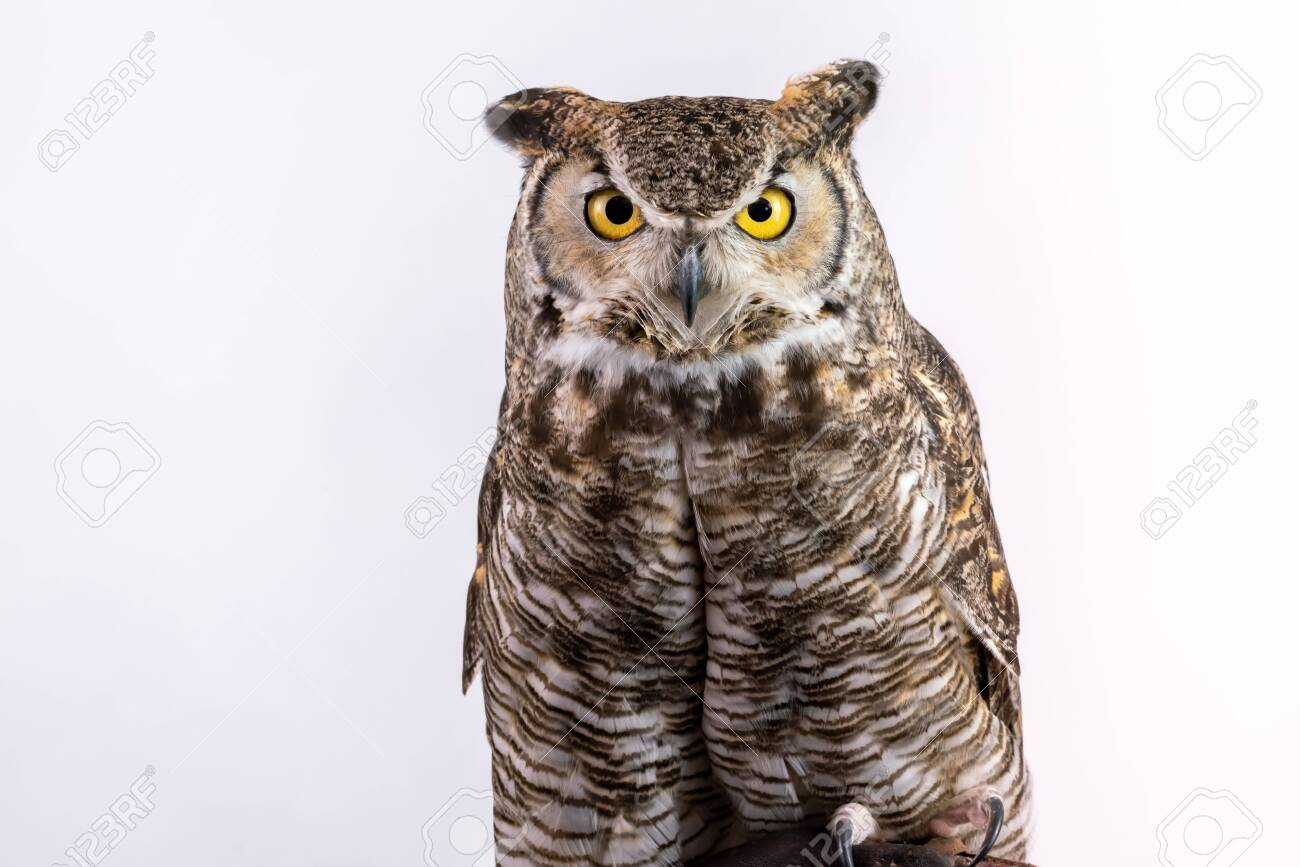 Close up of Great Horned Owl head shoulders - 127204424