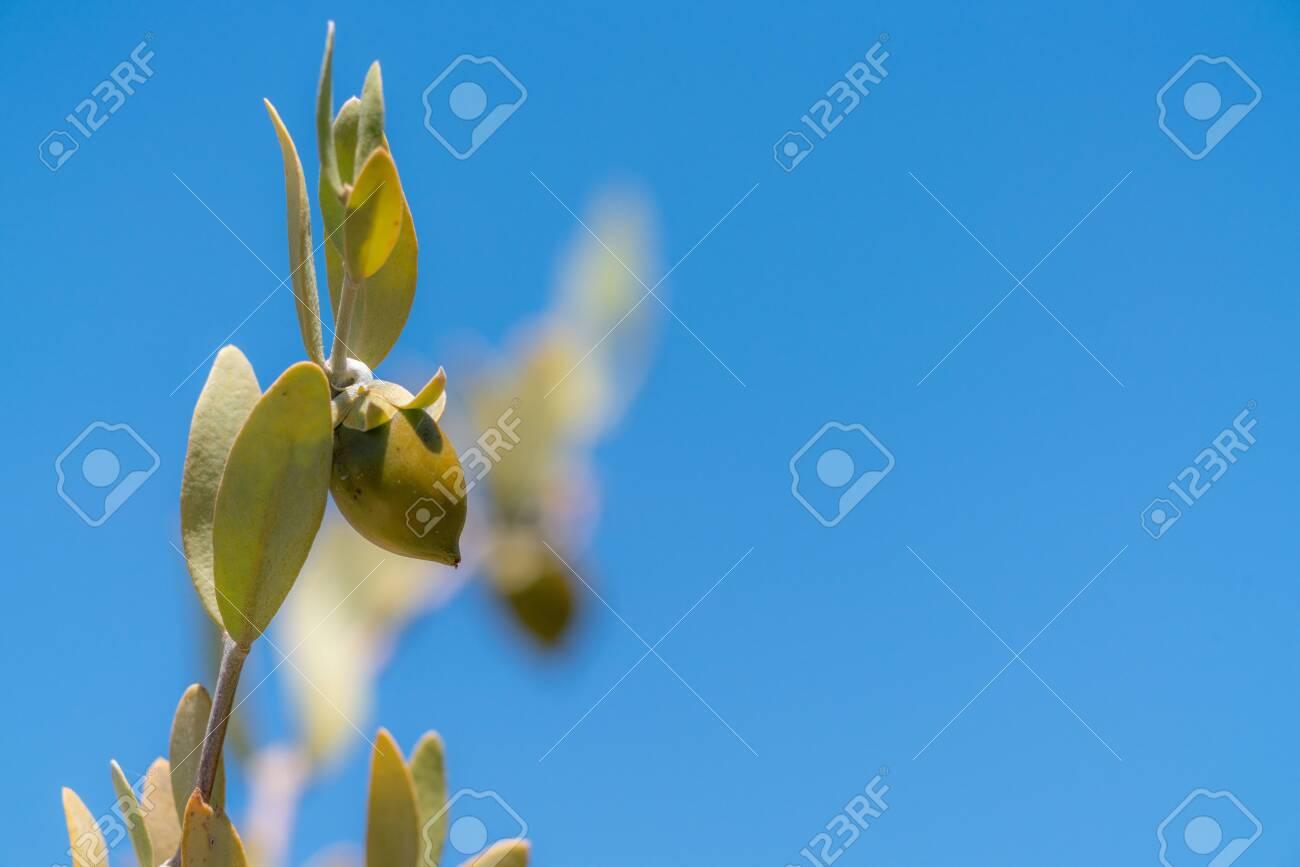 Jojoba bean in Sonoran Desert - 127204429