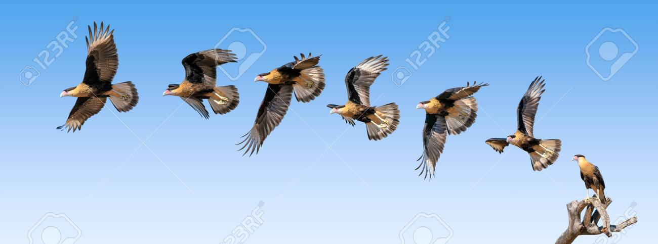 Harris Hawk flying. Isolated hawk Parabuteo unicinctus - 144842122