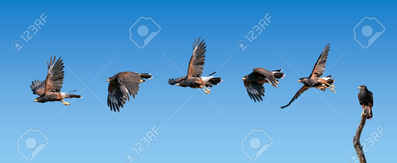 Harris Hawk flying. Isolated hawk Parabuteo unicinctus - 144842055