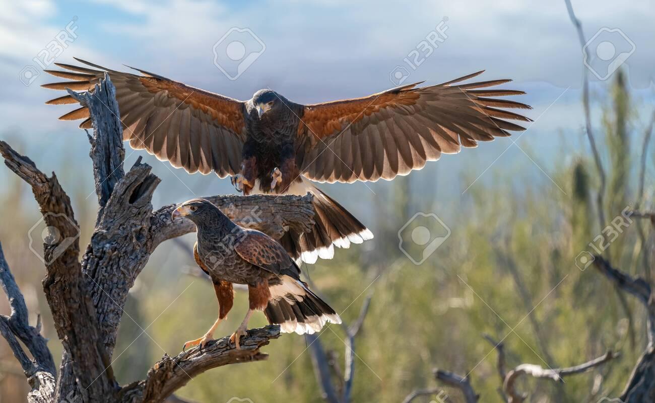 Harris Hawk flying. Isolated hawk against blue sky - 144843309