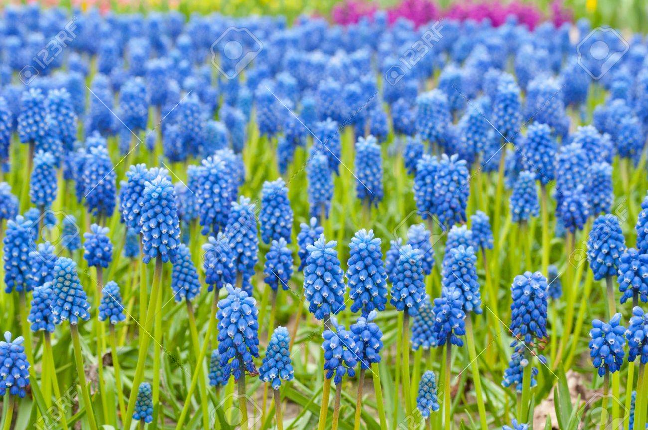 Beautiful blue muscari flowers in spring garden stock photo beautiful blue muscari flowers in spring garden stock photo 13777924 dhlflorist Choice Image
