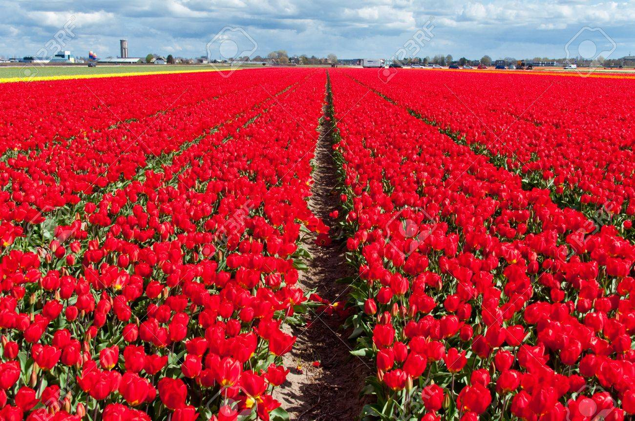 18961703-Beautiful-red-Dutch-tulip-field-spring-flower-background-Netherlands-Holland--Stock-Photo.jpg
