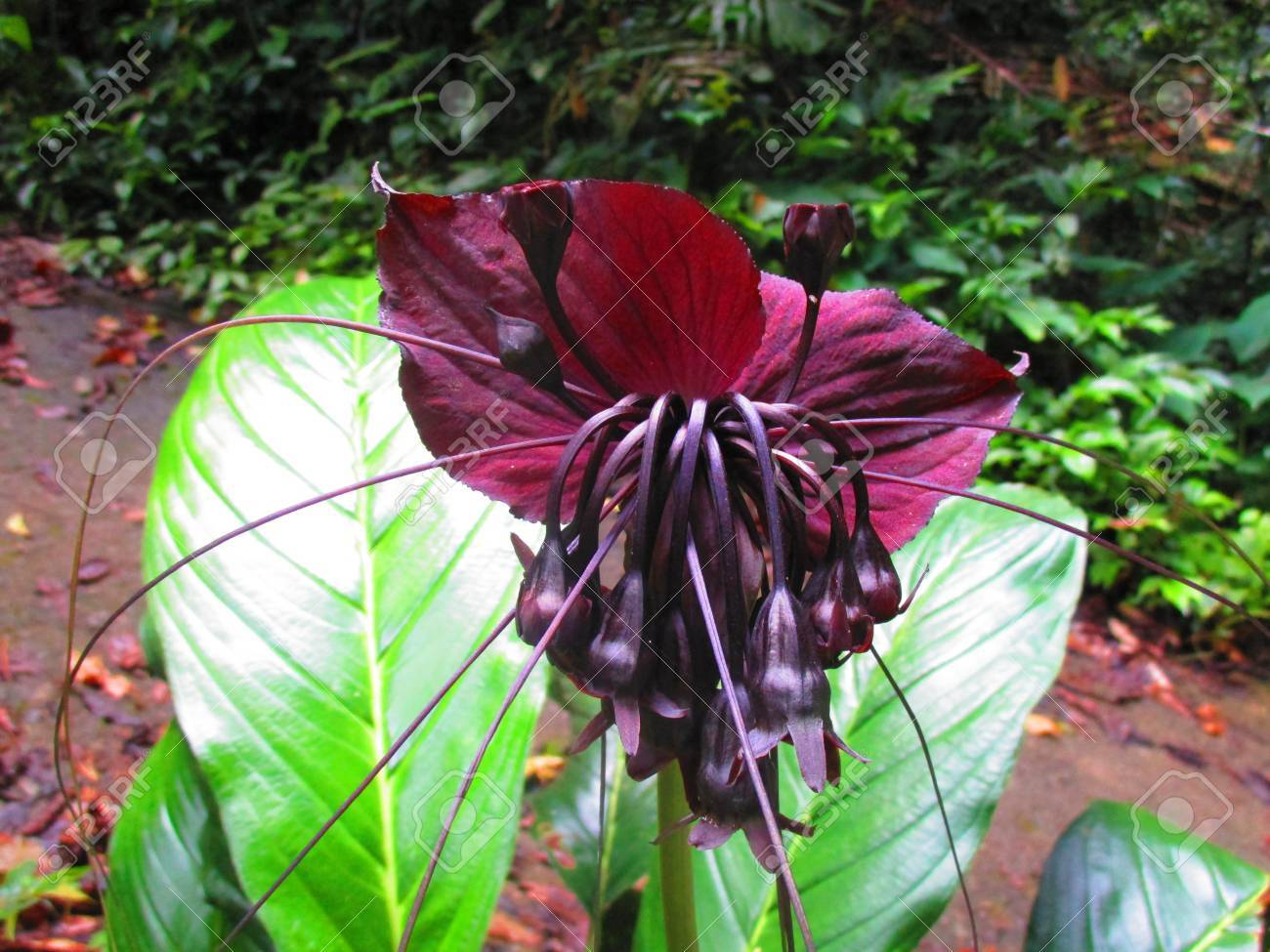 Black Bat Flowers Scientifically Known As Tacca Chantrieri Is ...