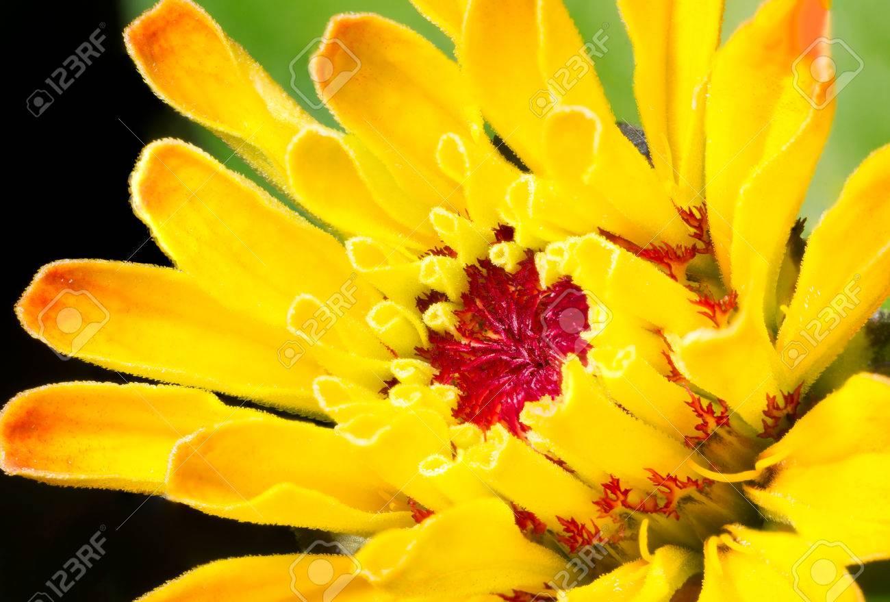 Beautiful Yellow Orange Flower With Tubular Petals Macro