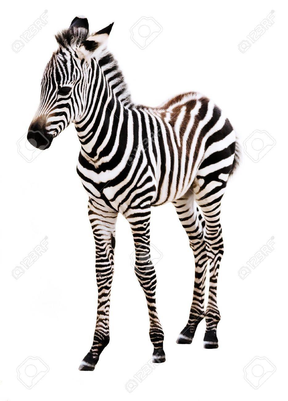Adorable Zebra standing, on white background. Stock Photo - 5320765