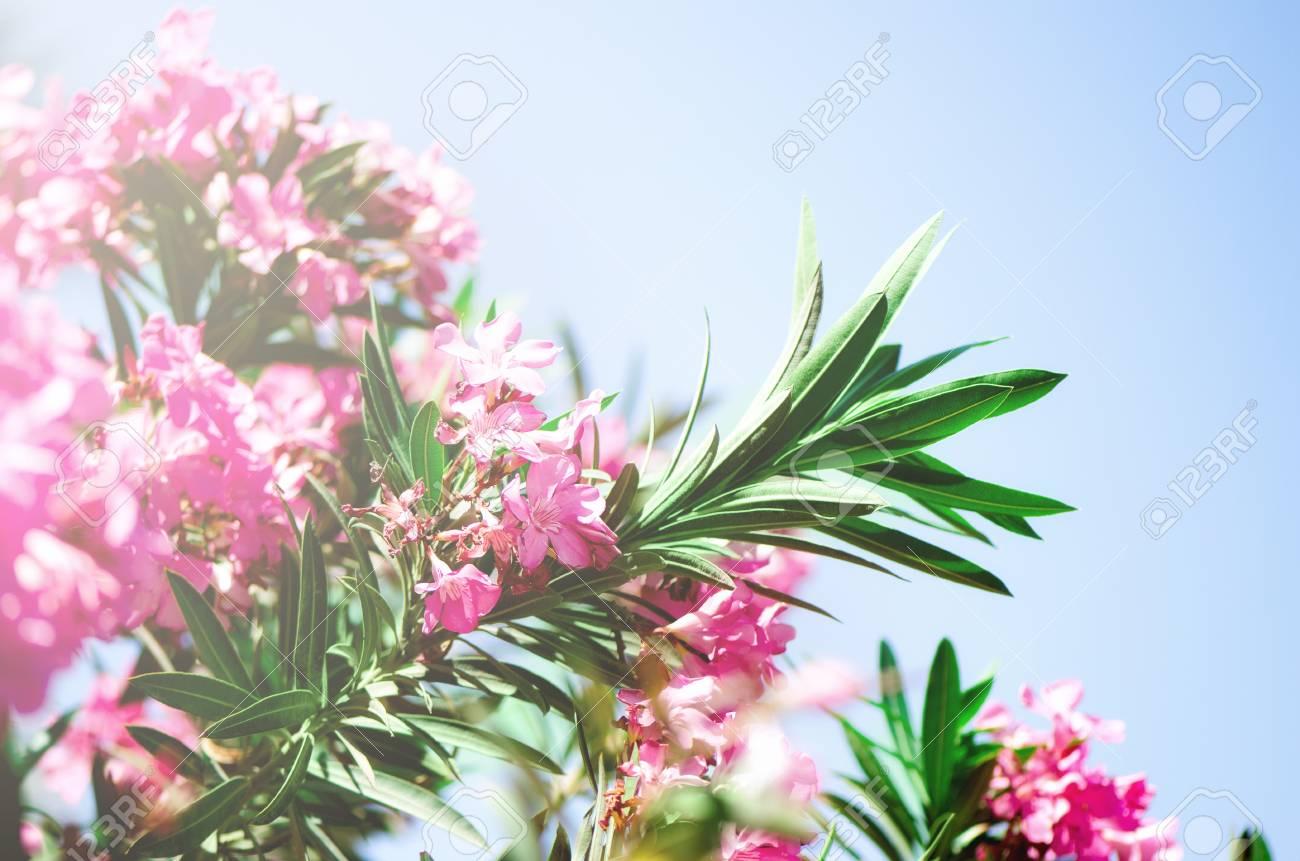 Blooming pink oleander flowers or nerium in garden stock photo blooming pink oleander flowers or nerium in garden stock photo 98016556 mightylinksfo
