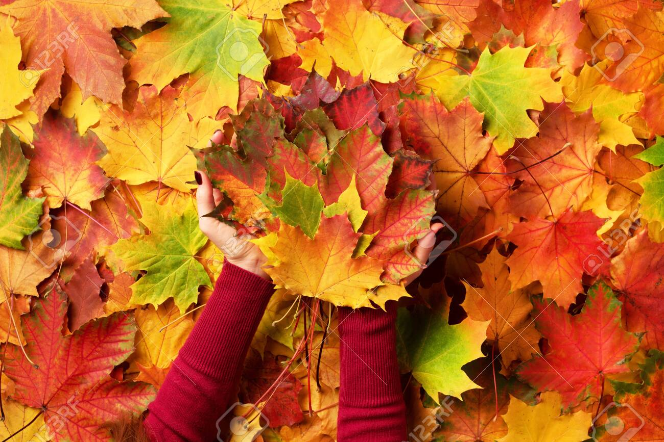Bright autumn background, light bokeh. Sunny day, warm weather. Bunch of colorful maple leaves in female hands with red nails design. Top view. Banner. - 128267123