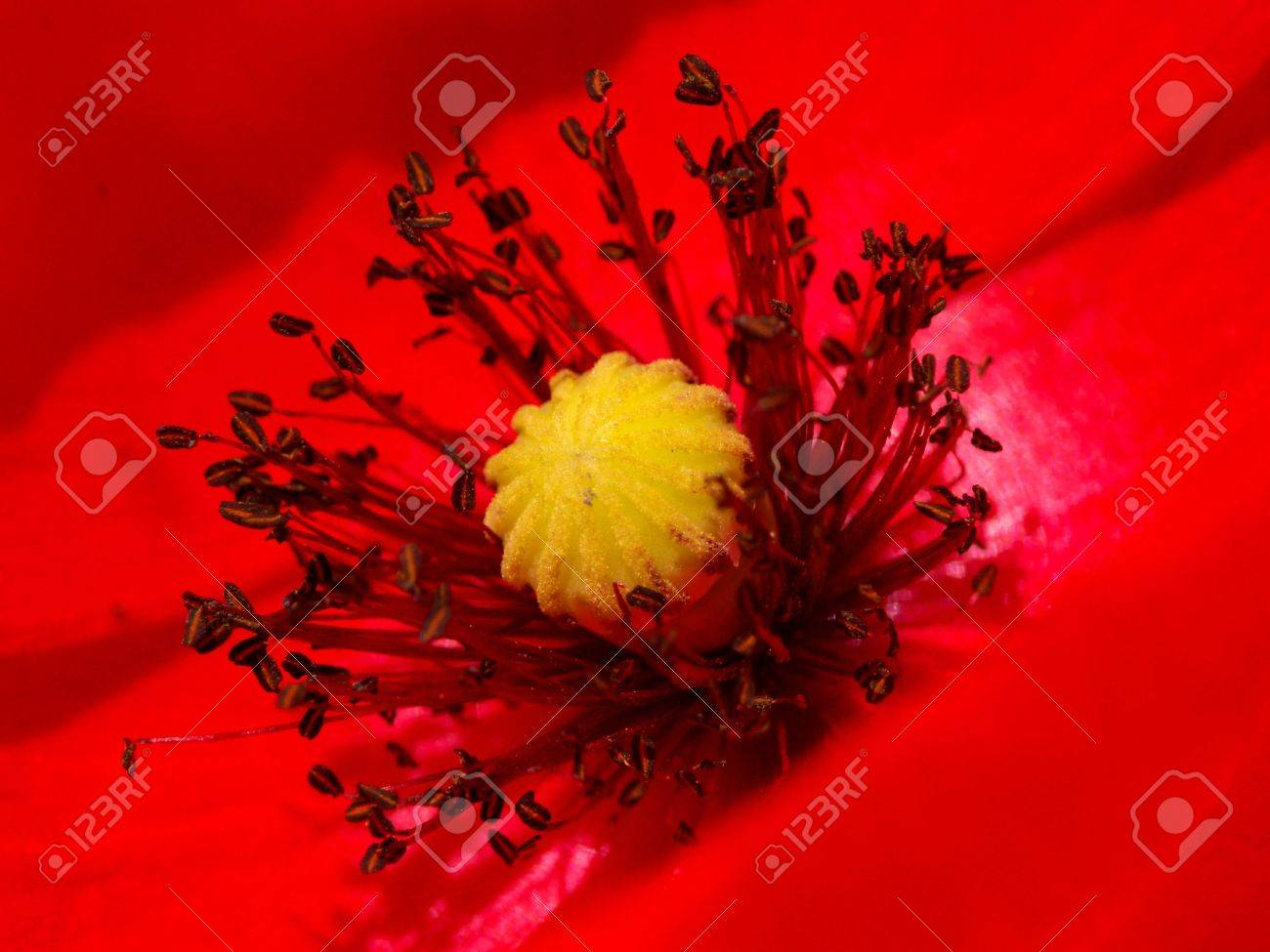 of a poppy flower stamens pistil stock photo picture and