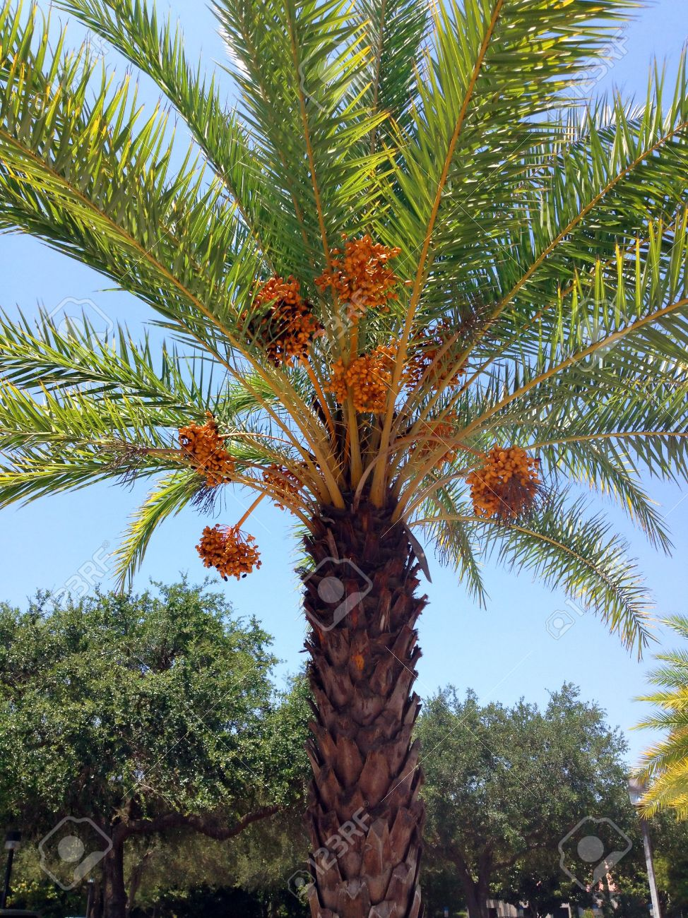 A Date Palm Tree Ready To Drop Ripe Dates Stock Photo Picture And