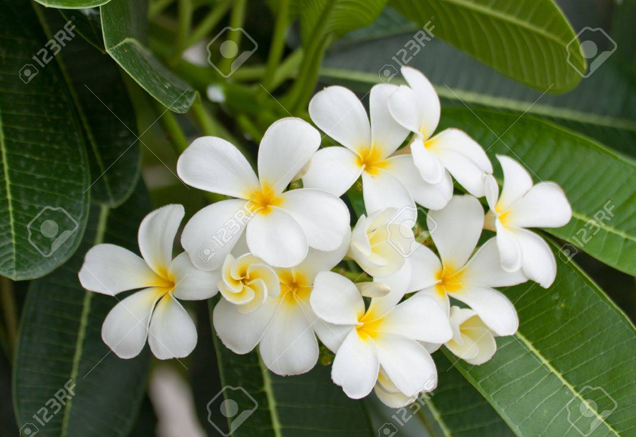 white and yellow frangipani flowers or tropical flower with leaves, Beautiful flower