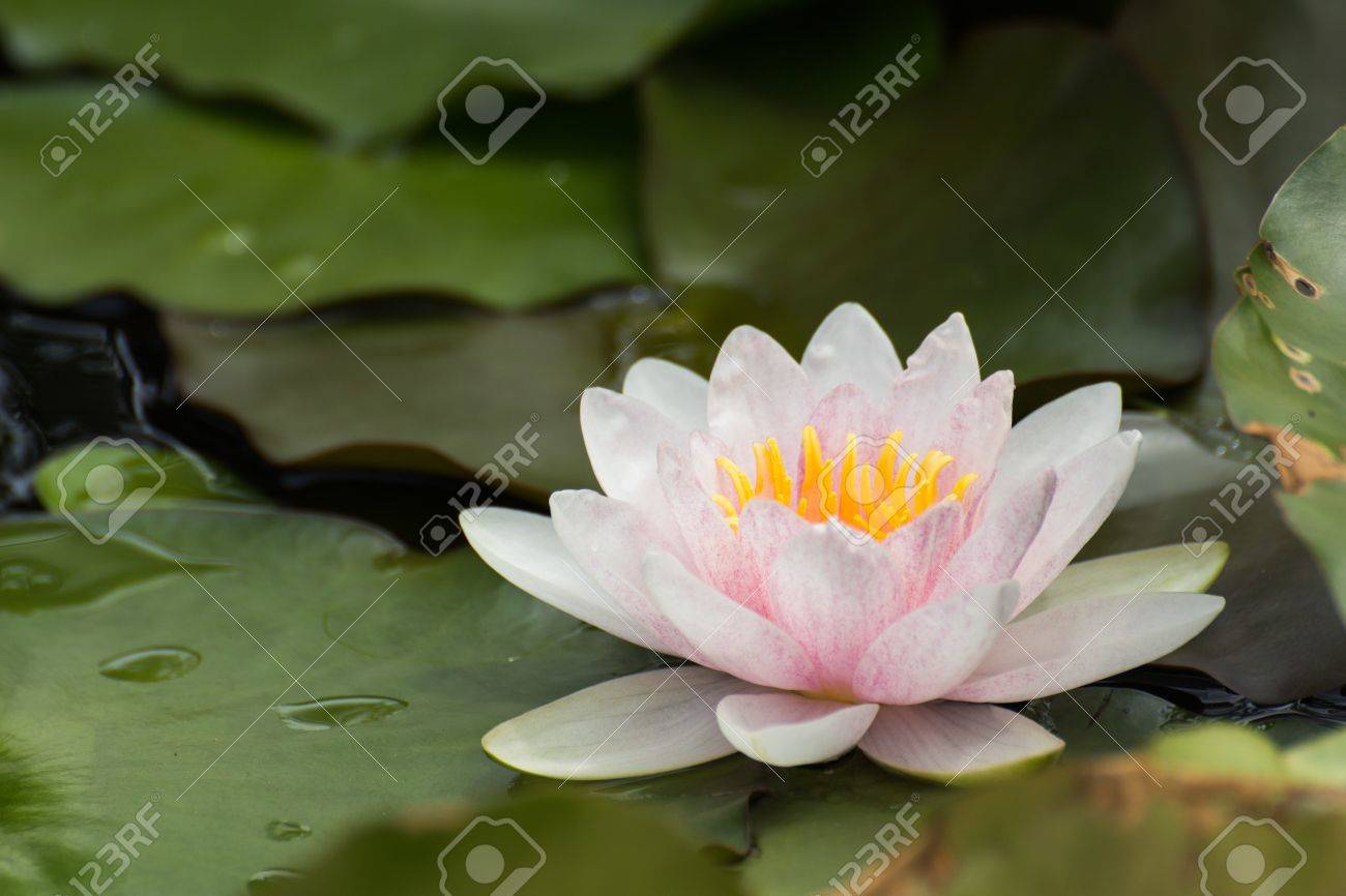 Pink lotus blossoms or water lily flowers blooming on pond Stock Photo - 15475026