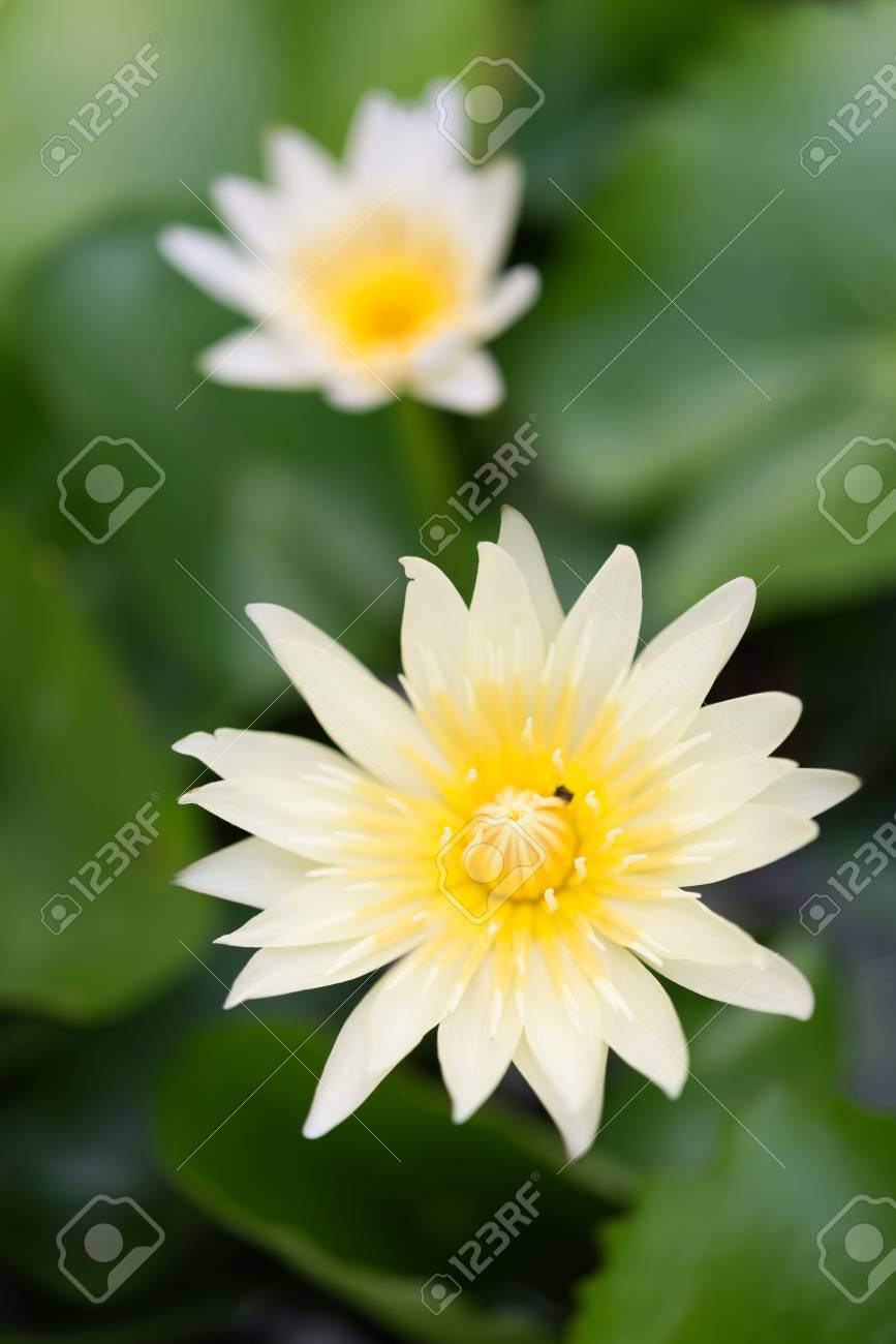 Beautiful Yellow Lotus Or Water Lily Flower In Pondtop View Stock