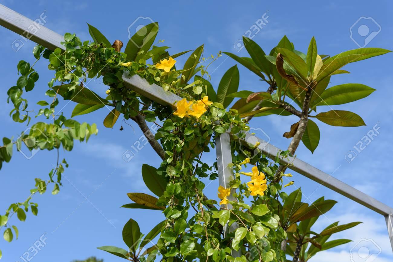 Metal fence with beautiful yellow flowers against summer blue metal fence with beautiful yellow flowers against summer blue sky backgroundcats claw catclaw mightylinksfo