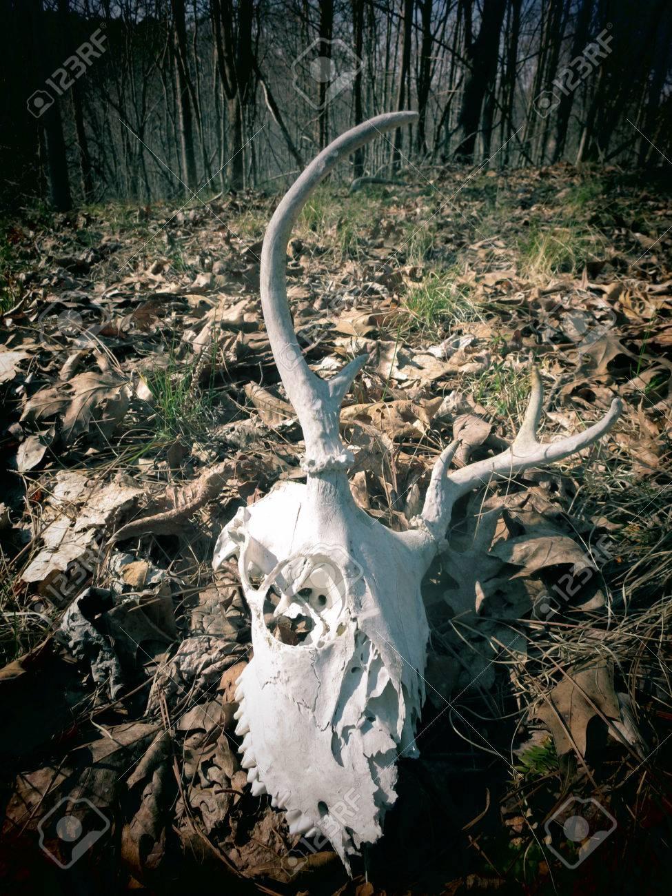 Una Vista Filtrada De Un Cráneo De Venado Esqueleto Sobre Un Suelo ...