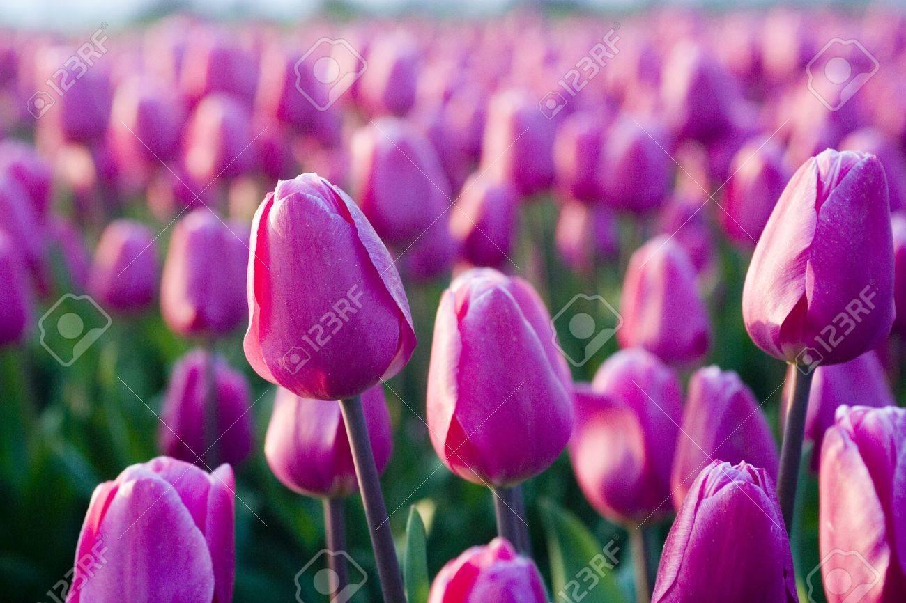 tulip field Stock Photo - 2396535