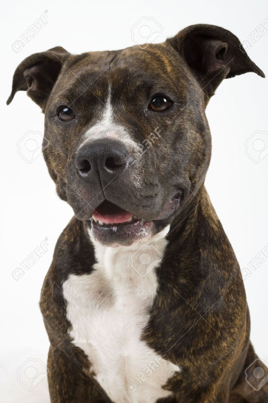 American Staffordshire Terrier Stock Photo - 2541778