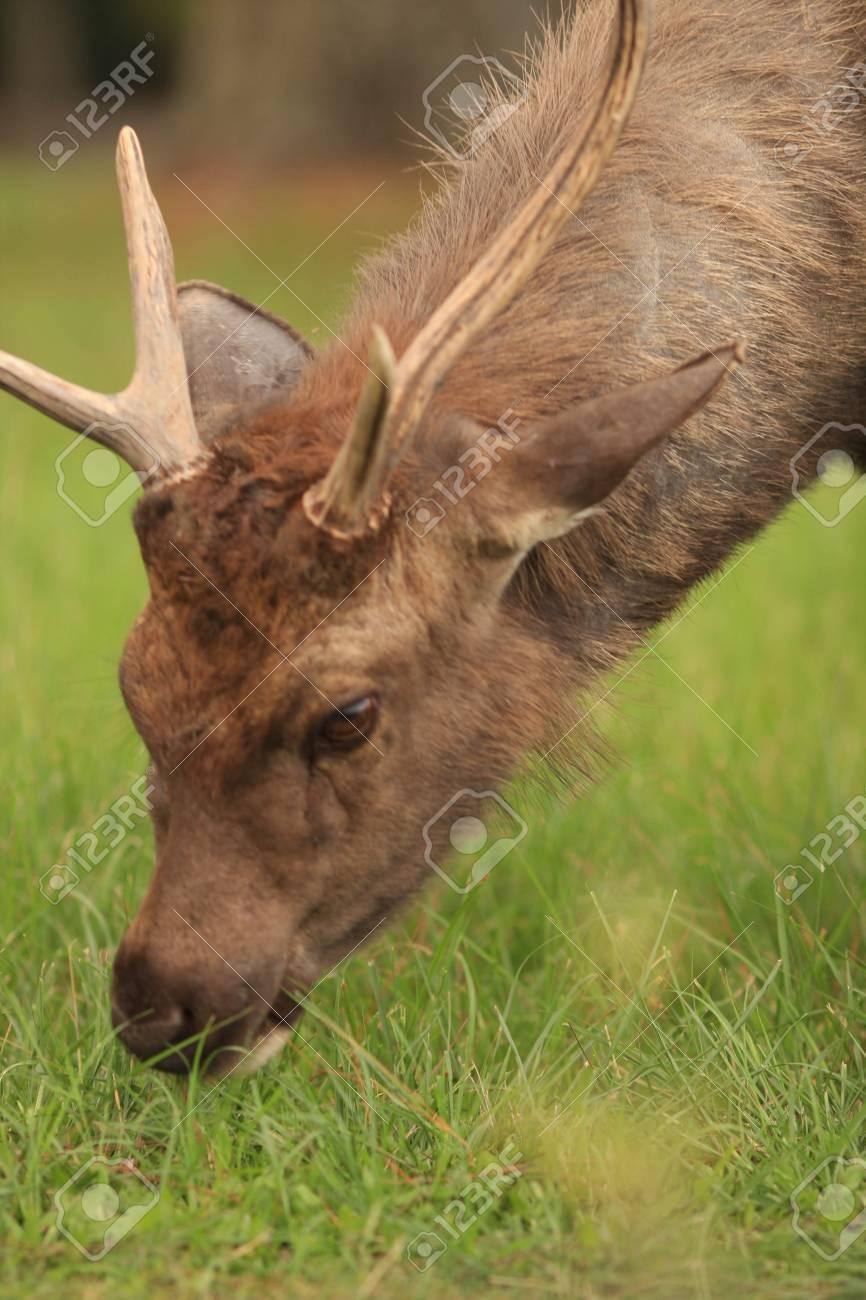 deer Stock Photo - 8787463