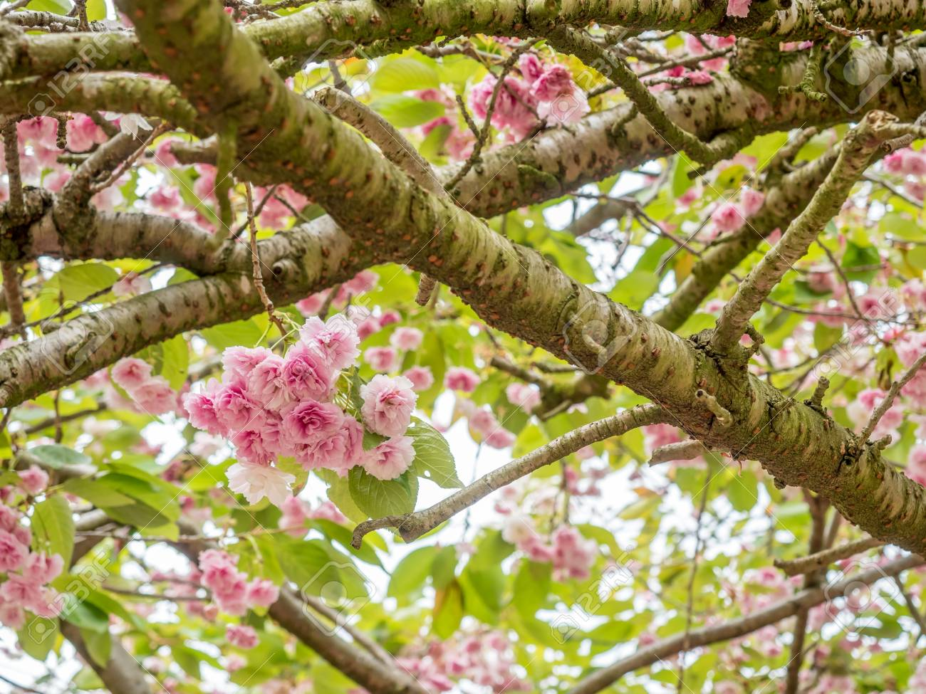 Pink Pedal Flowers On Tree And Green Grass In Outdoor Park With