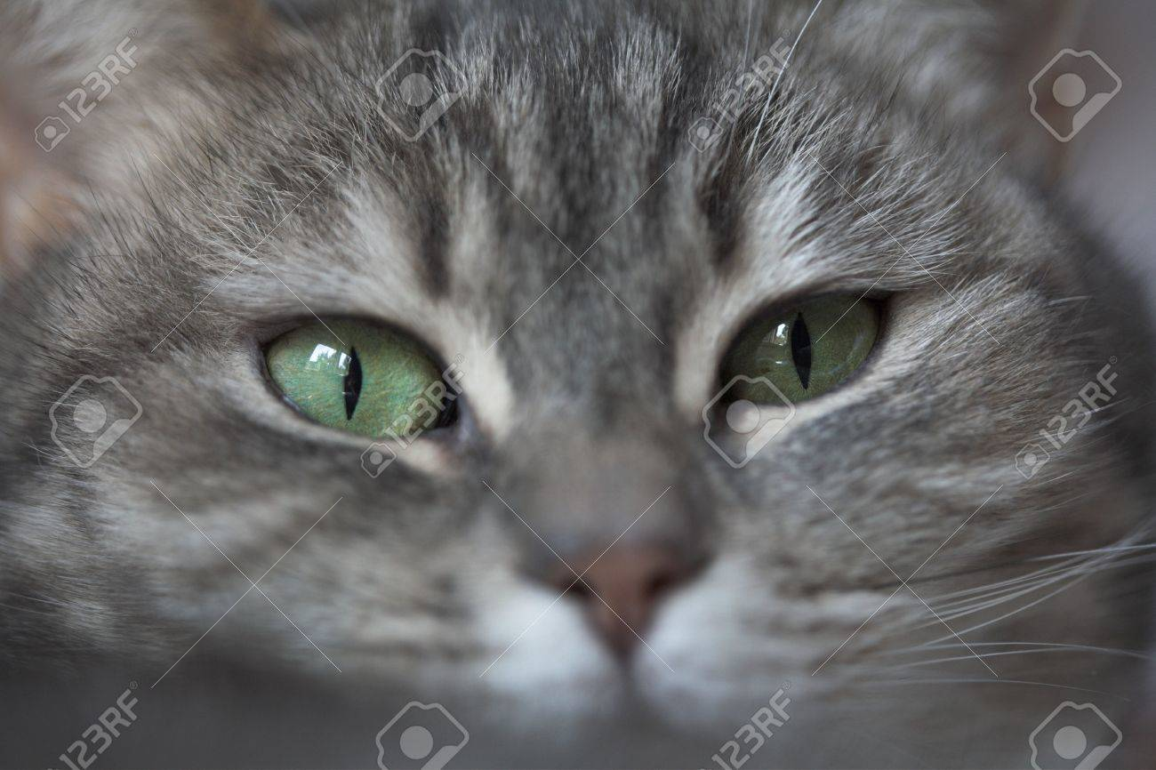 grey cat  with green eyes looking at the camera Stock Photo - 3945307