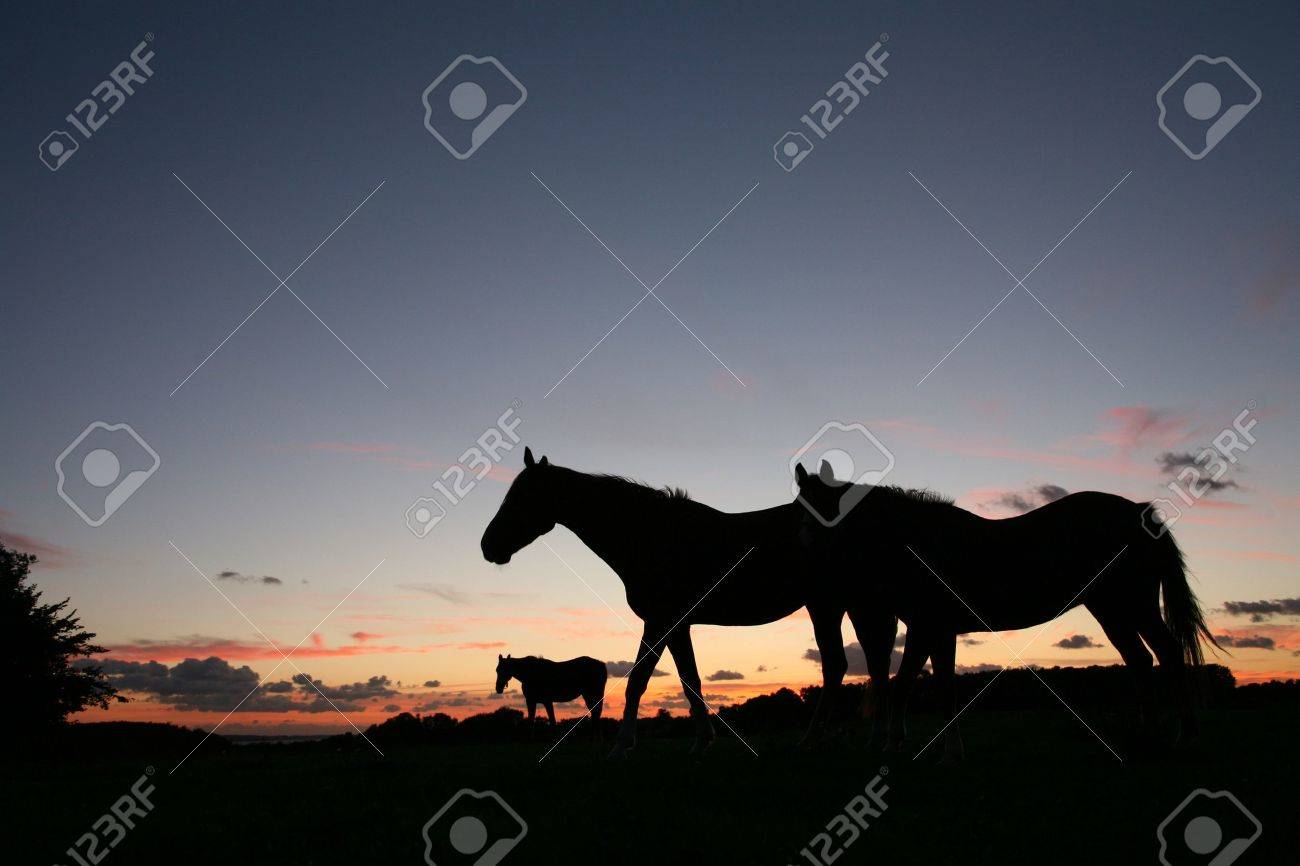 horses on a field in the summer in the countryside  in denmark, silhouette at the sunset Stock Photo - 9408380