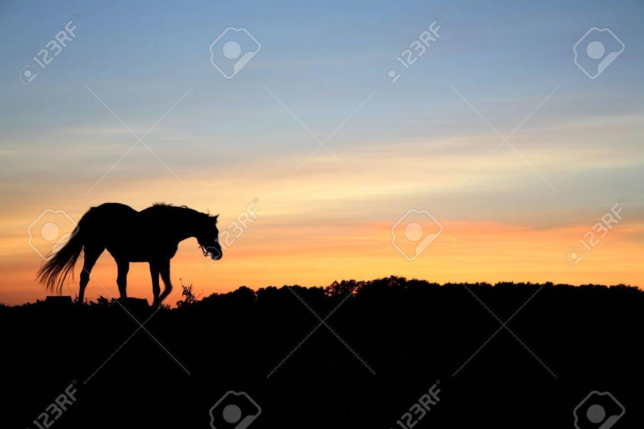 horses on a field in the summer in the countryside  in denmark, silhouette at the sunset Stock Photo - 9400698
