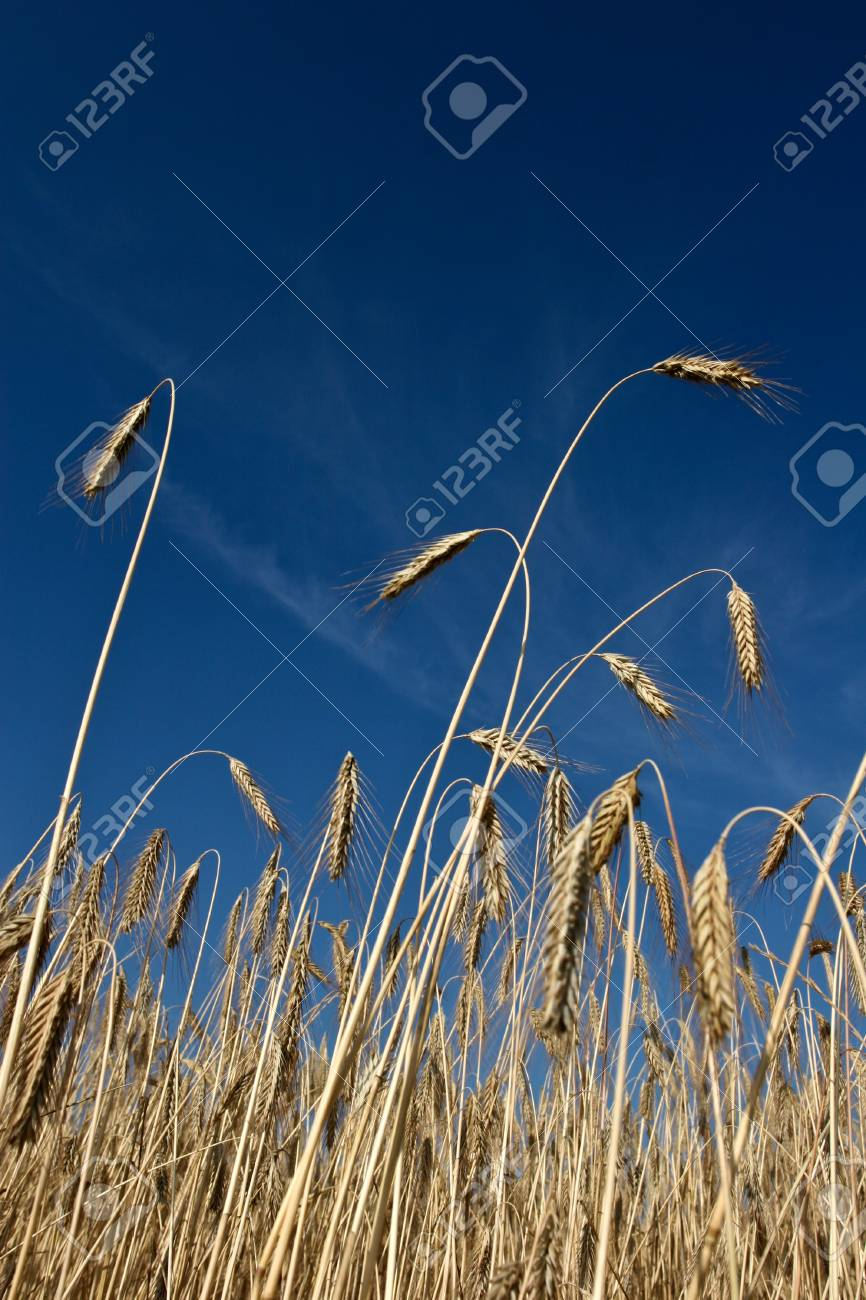 Fiel of wheat in the summer in denmark Stock Photo - 14302006