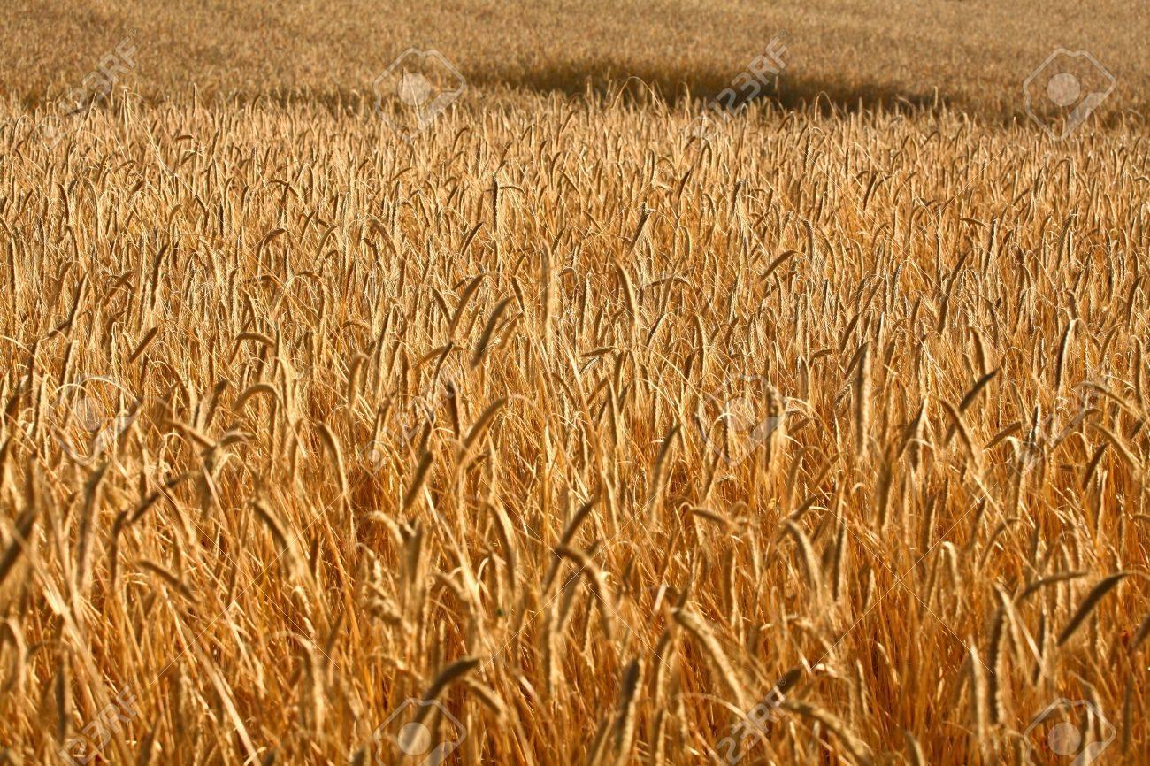 Fiel of wheat in the summer in denmark Stock Photo - 14302112