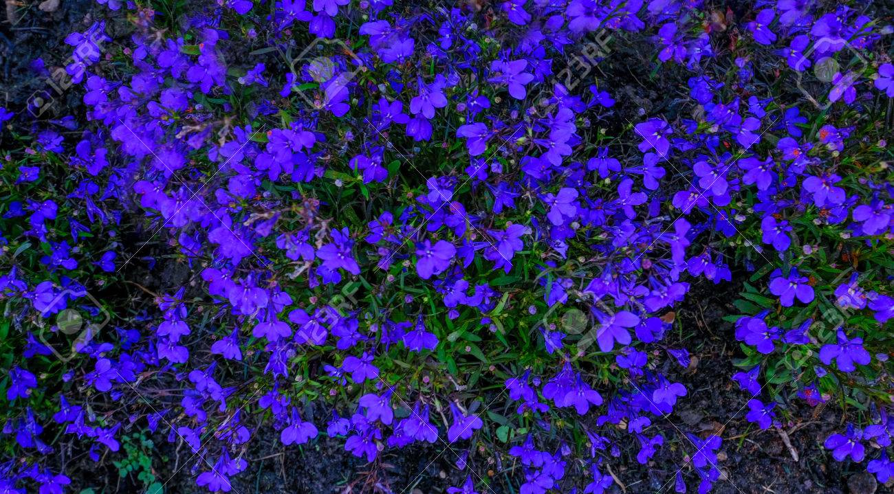 Blue lobelia ground cover flowers in early summer background blue lobelia ground cover flowers in early summer background shot stock photo 83927773 izmirmasajfo