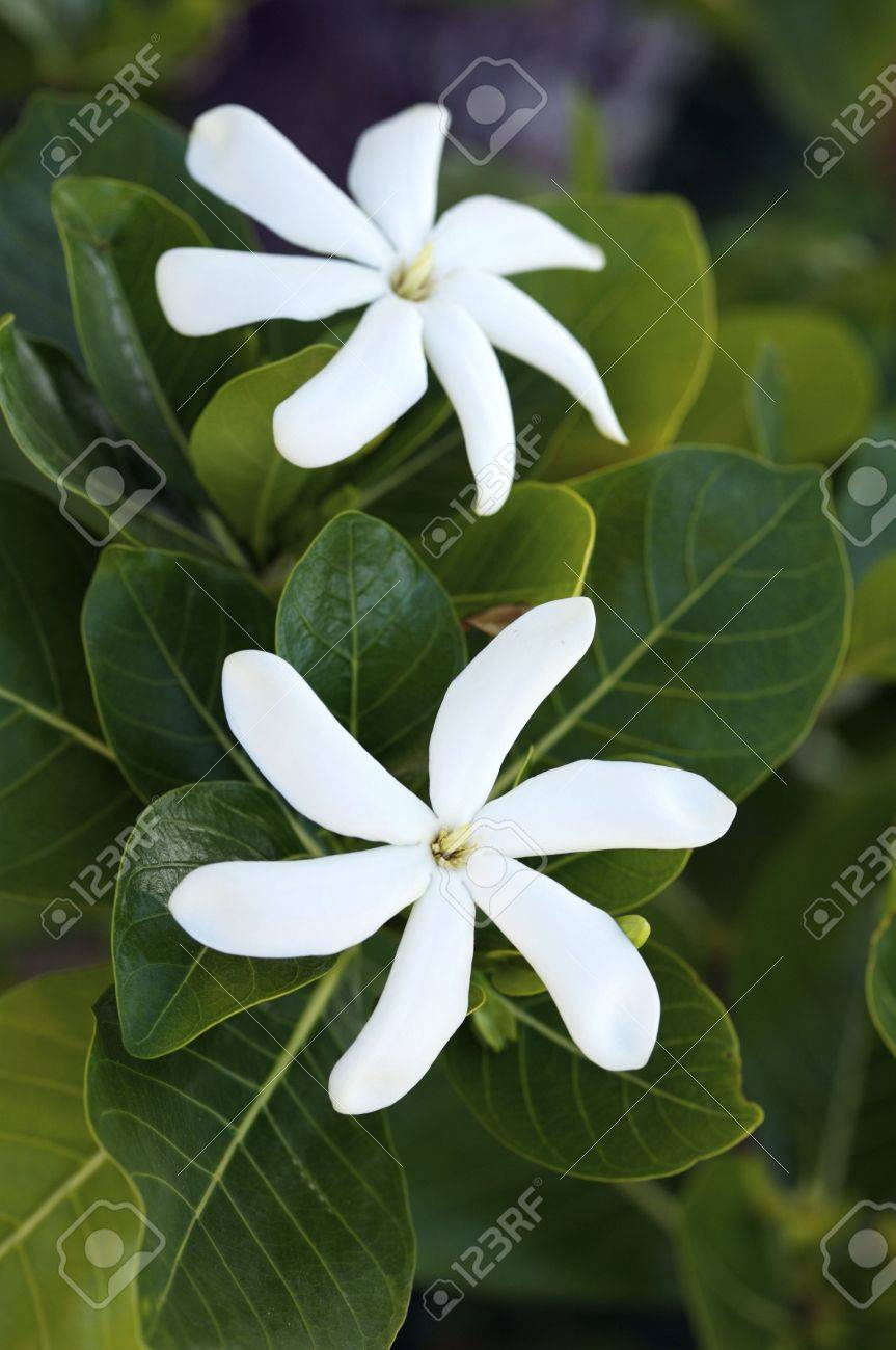 crisp white tropical flowers in bloom stock photo, picture and, Beautiful flower