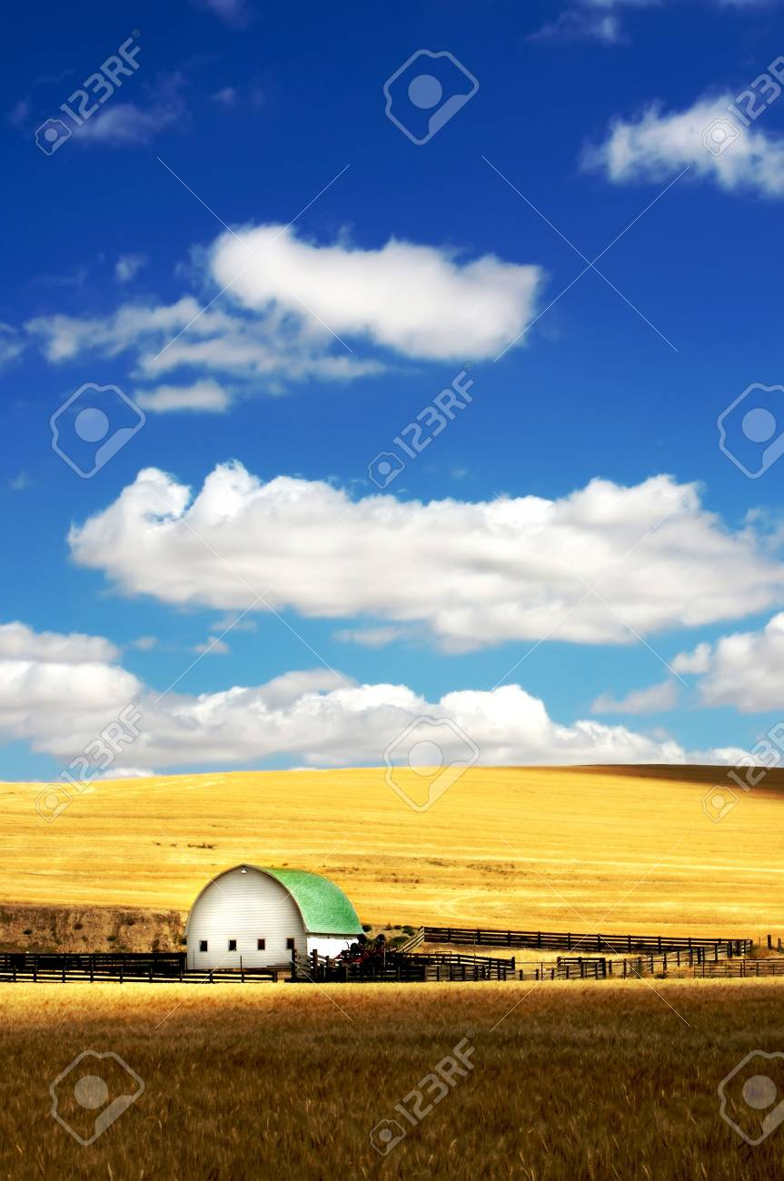 Barn in the mist of a wheat field under a puffy cloud blue sky Stock Photo - 3392709
