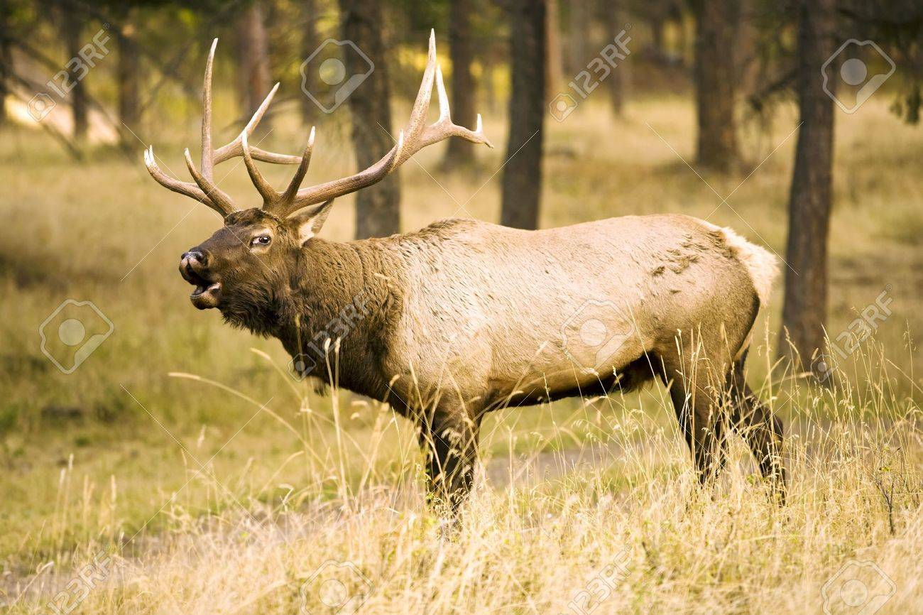 Wild Elk Calling To his herd Stock Photo - 3826087