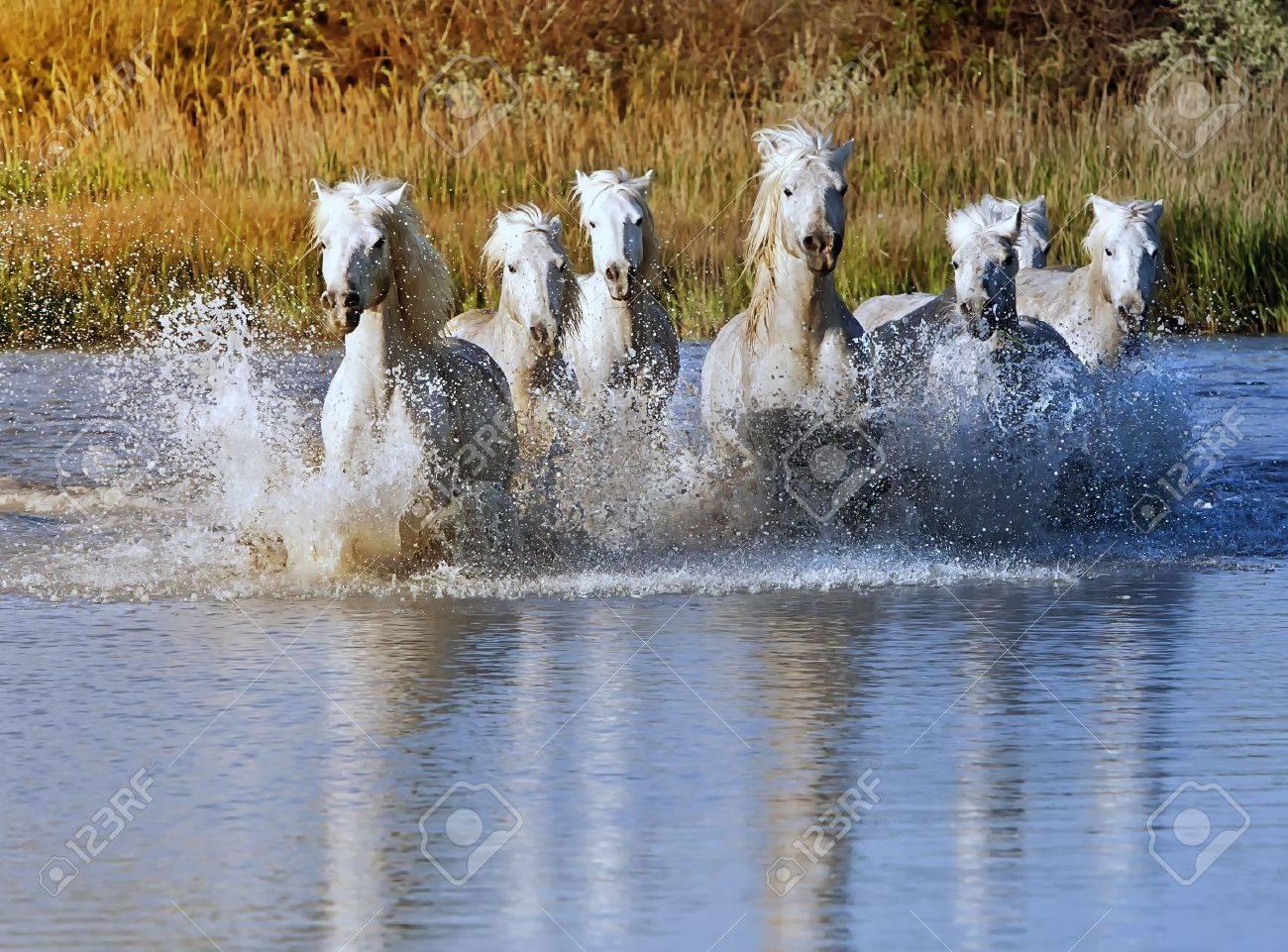 Heard of White Horses Running and splashing through water Stock Photo - 13972557