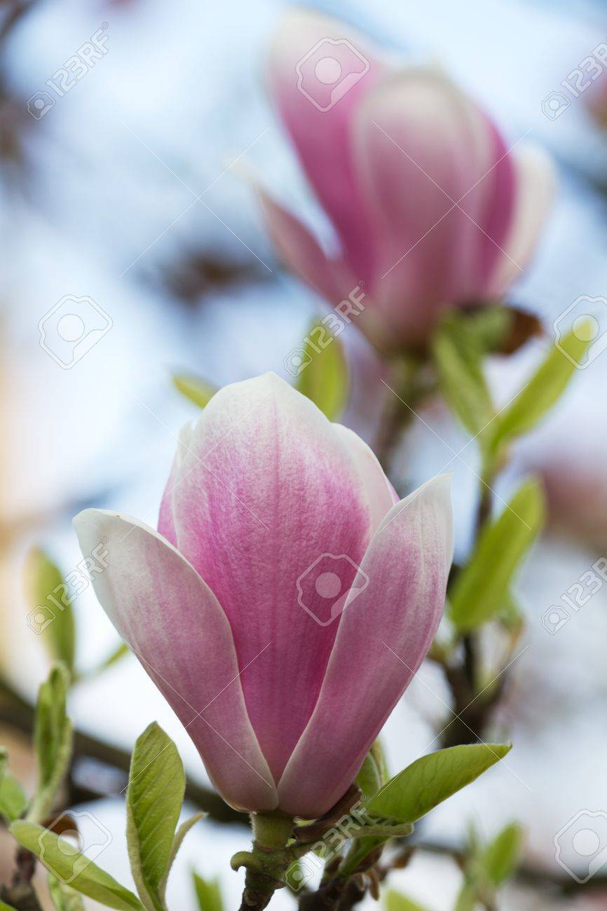 Blue Sky Magnolia Flowers Look Like Pink And White Chinese Lanterns