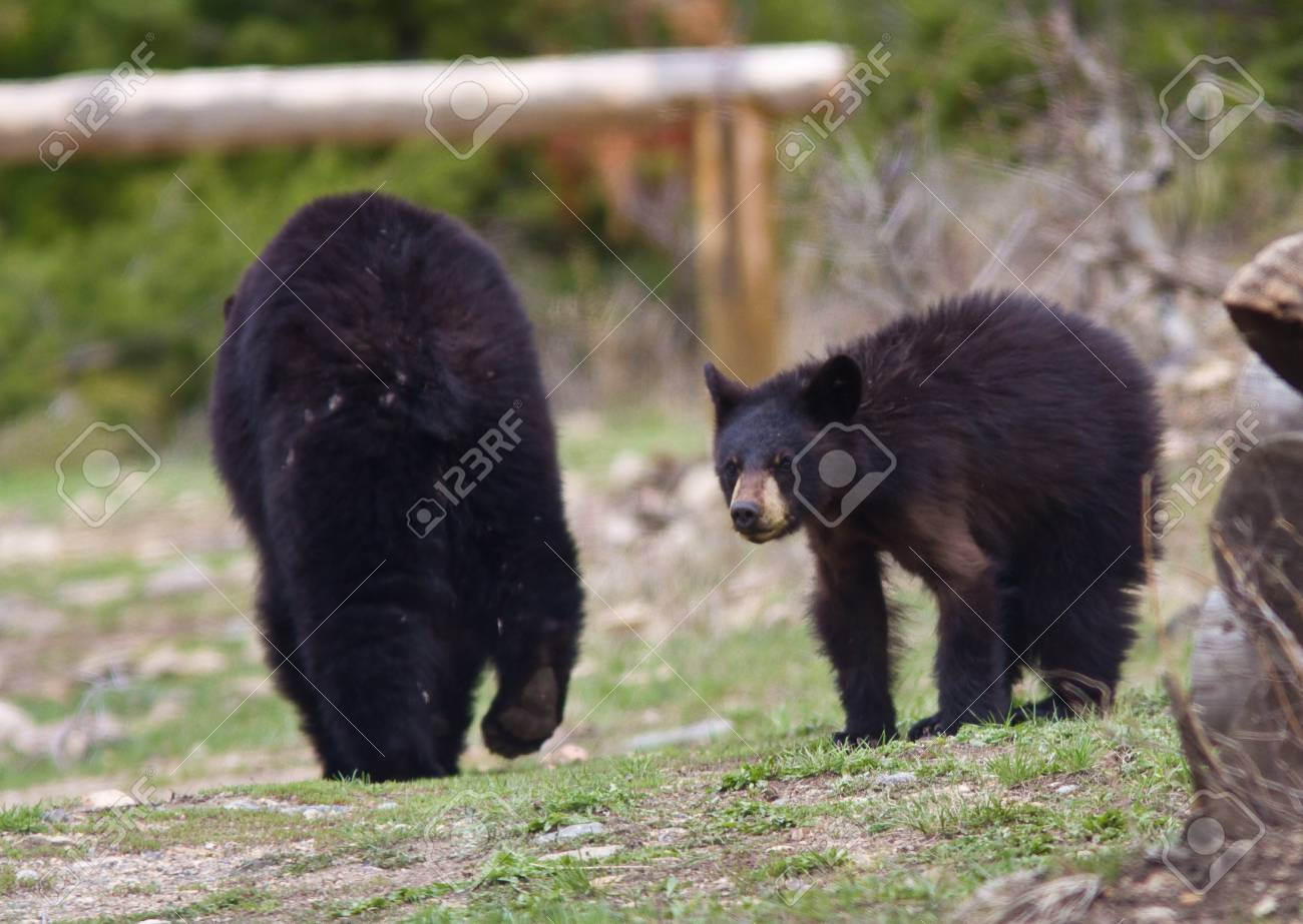 how-big-are-mature-black-bears-young-teen-tiny-ass-cute-real