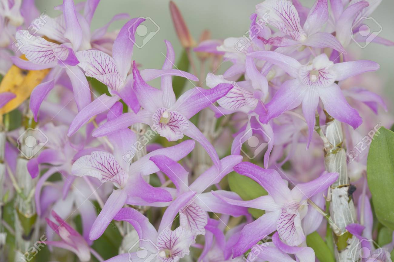 Section Dendrobium New Orchid hybrids Stock Photo - 21168947