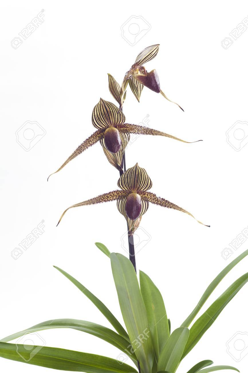 Slipper Orchid Care Beautiful Cool Growing Paphiopedilum In Full Bloom You