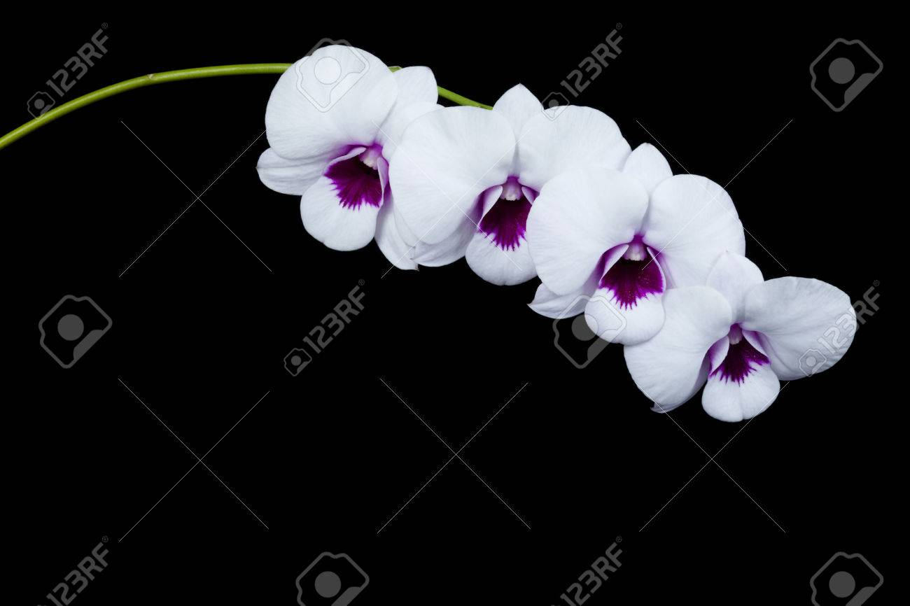 Orchid Flowers White Circle With A Black Background Stock Photo