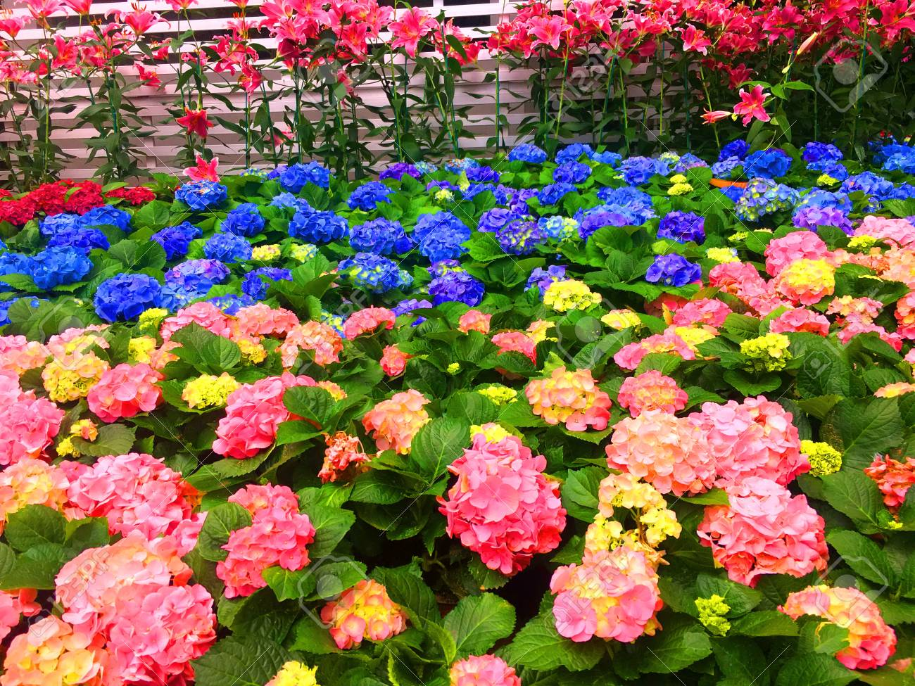 Begonia Flowers Full Blooming In Flower Garden For Background