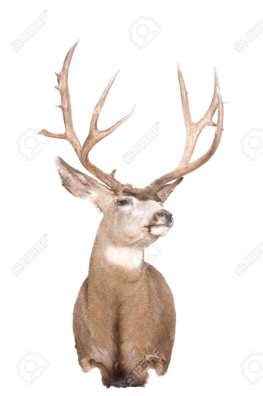 wild mule deer head isolated on white stock photo