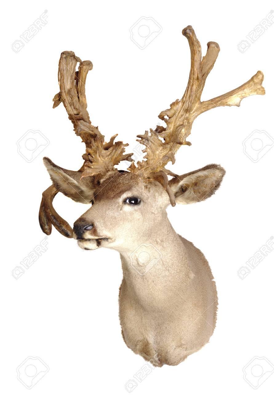 Deer Head Mount >> No Typical Deer Black Tailed Deer Head Mount Isolated On White