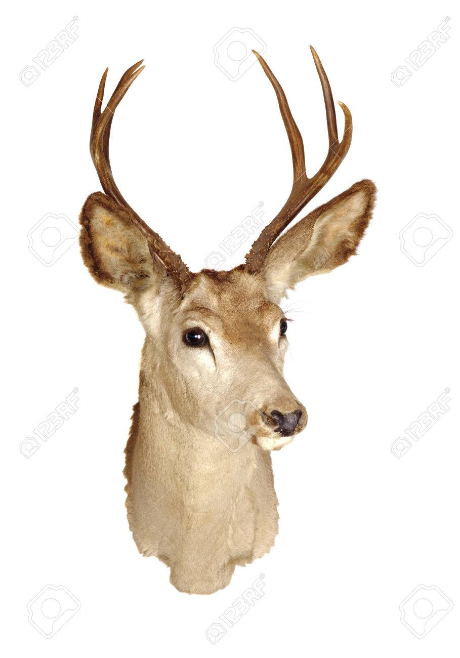 Deer Head Mount >> A 3x3 Black Tailed Deer Head Mount Isolated On White Background