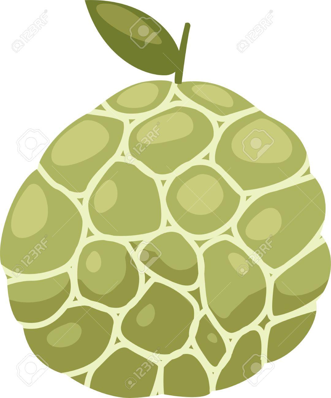 illustration Custard apple vector file on White background Stock Vector - 12216474
