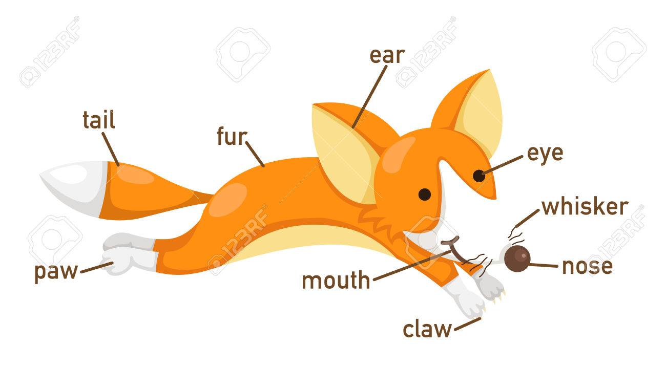 Fox Body Parts >> Illustration Of Fox Vocabulary Part Of Body Vector