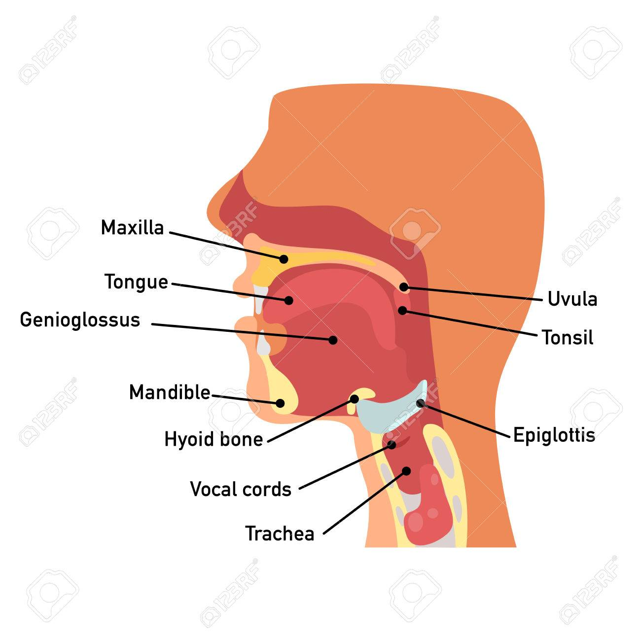 Throat Anatomy,vector Illustration. Royalty Free Cliparts, Vectors ...