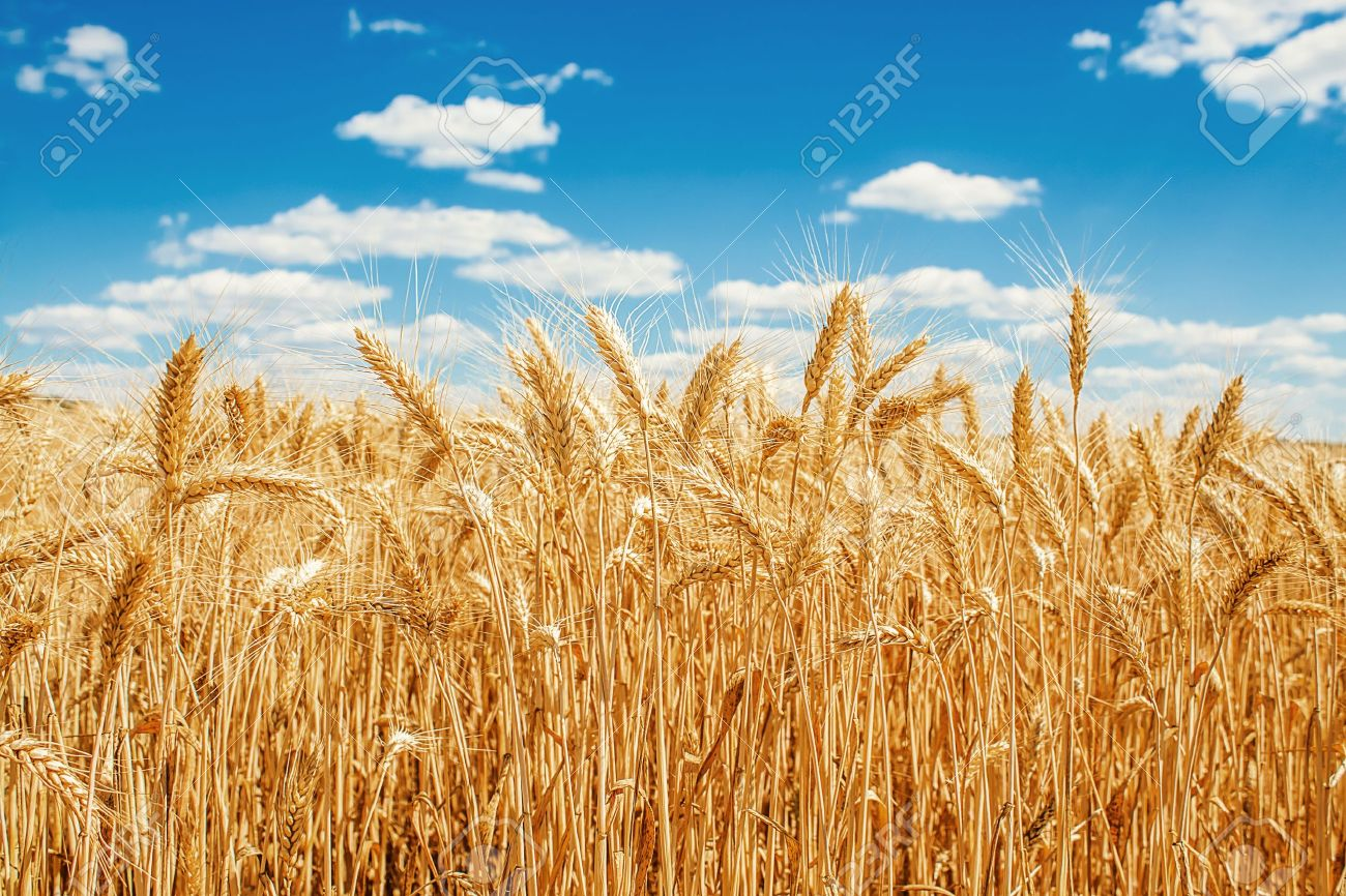 Gold wheat field and blue sky Stock Photo - 15616367