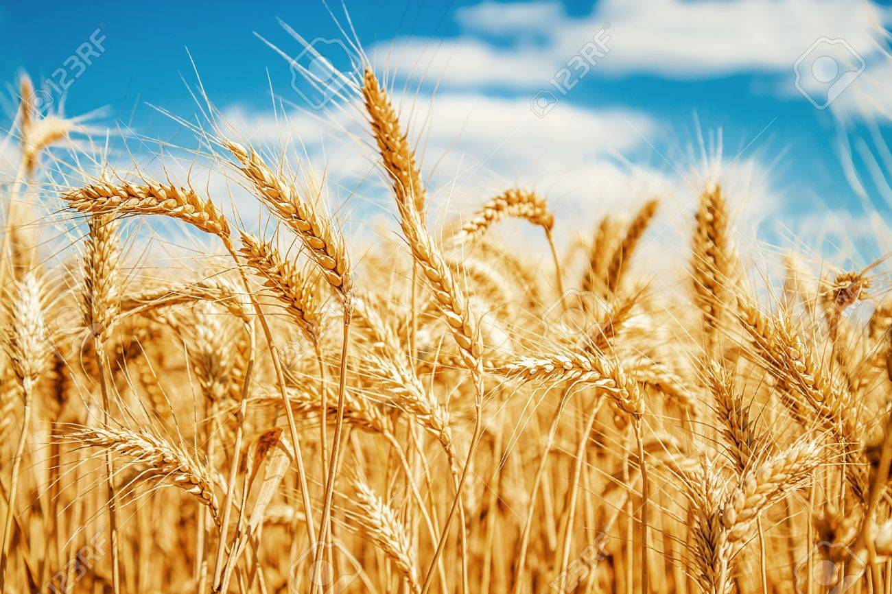 Gold wheat field and blue sky Stock Photo - 15616354