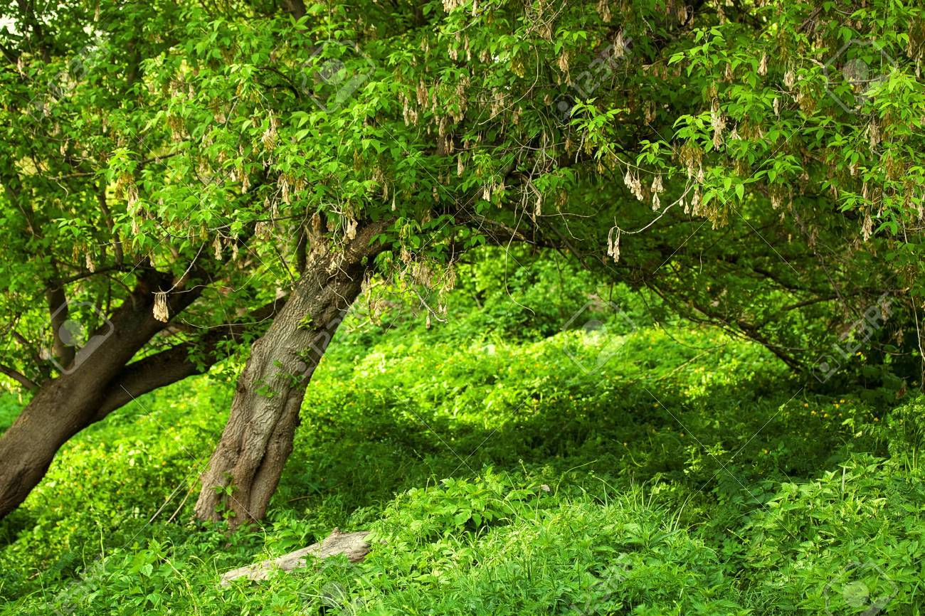 Spring meadow with big tree with fresh green leaves Stock Photo - 17313624