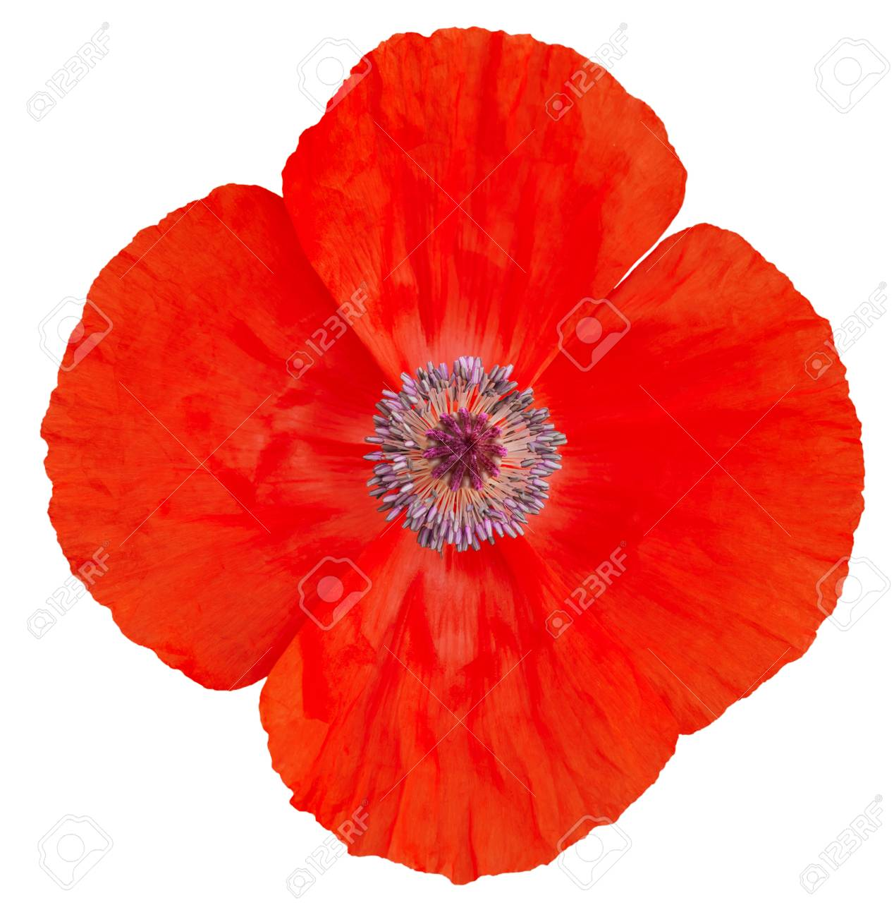 Poppy Flower Remembrance Day Stock Photo Picture And Royalty