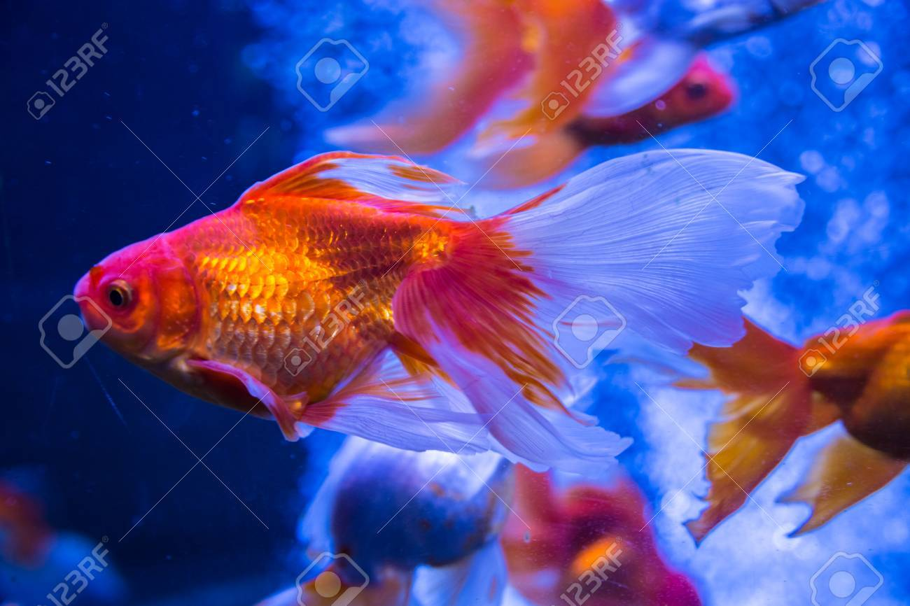 Tropical And Aquarium Goldfish In Blue Water Beautiful Background Stock Photo Picture And Royalty Free Image Image 80104810